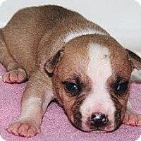 Adopt A Pet :: Baby Boy 1 - Westfield, IN