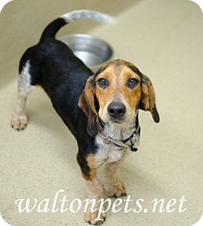 Beagle Mix Dog for adoption in Monroe, Georgia - Zane