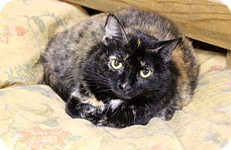 Calico Cat for adoption in Cincinnati, Ohio - Mattie & Marla: $25 pair