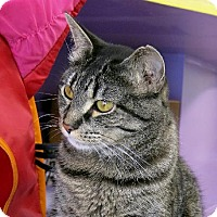 Domestic Shorthair Cat for adoption in Northbrook, Illinois - Mabell