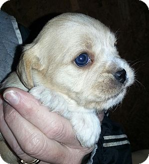 Cairn Terrier/Terrier (Unknown Type, Small) Mix Puppy for adoption in Hagerstown, Maryland - Kamie