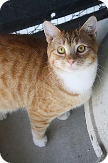 Domestic Shorthair Cat for adoption in Darlington, South Carolina - Creed