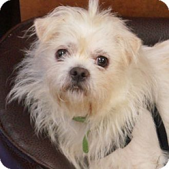 Shih Tzu/Chihuahua Mix Dog for adoption in Eatontown, New Jersey - Bear