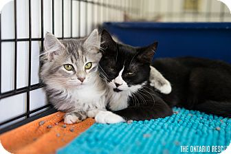 Domestic Shorthair Kitten for adoption in Montclair, California - Leah