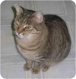 Domestic Shorthair Cat for adoption in Peconic, New York - Bella