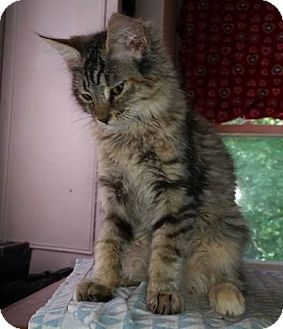 Domestic Mediumhair Kitten for adoption in Putnam, Connecticut - Wagner