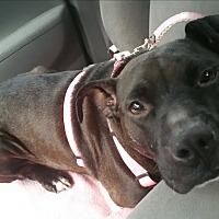 Adopt A Pet :: Piggy - Charlotte, NC