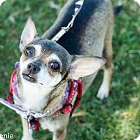 Chihuahua Mix Dog for adoption in Tucson, Arizona - Kiki