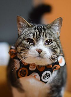 Domestic Shorthair Cat for adoption in Carencro, Louisiana - Ming