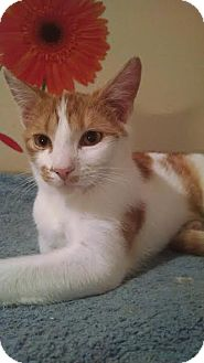 Domestic Shorthair Kitten for adoption in Concord, North Carolina - Danny