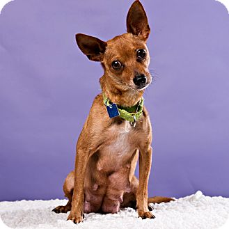 Terrier (Unknown Type, Small)/Chihuahua Mix Dog for adoption in Houston, Texas - Dory