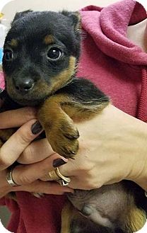 Chihuahua/Miniature Pinscher Mix Puppy for adoption in Baltimore, Maryland - Hansel