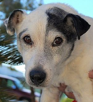 Jack Russell Terrier Mix Dog for adoption in Las Vegas, Nevada - Cliff