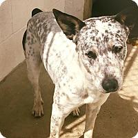 Adopt A Pet :: Camo - Boston, MA