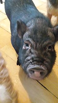 Pig (Potbellied) for adoption in Gaffney, South Carolina - Cornelius- Piggy