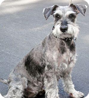 Schnauzer (Miniature) Dog for adoption in El Cajon, California - Axel (in adoption process)