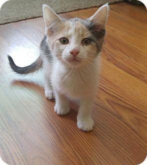 Domestic Shorthair Kitten for adoption in Avon, New York - Cassie