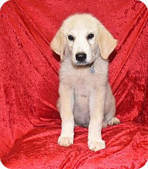 Great Pyrenees Mix Puppy for adoption in Oxford, Connecticut - Mason