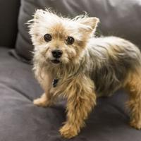 Yorkie, Yorkshire Terrier Mix Dog for adoption in Chicago, Illinois - Farris