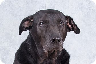Labrador Retriever/Hound (Unknown Type) Mix Dog for adoption in Deer Park, New York - Smokey