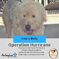 Labrador Retriever/Poodle (Standard) Mix Dog for adoption in Alexandria, Virginia - Irma's Molly