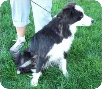 Border Collie Dog for adoption in Osseo, Minnesota - Charlie