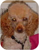 Poodle (Miniature) Dog for adoption in Warren, New Jersey - Maddie