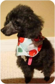 Poodle (Toy or Tea Cup) Mix Dog for adoption in Melbourne, Florida - BABY