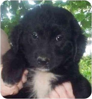 Flat-Coated Retriever Mix Puppy for adoption in Chapel Hill, North Carolina - Malibu