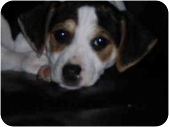 Jack Russell Terrier/Rat Terrier Mix Puppy for adoption in Eubank, Kentucky - wiggles