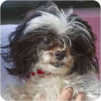 Maltese/Shih Tzu Mix Dog for adoption in Berkeley, California - Blossom