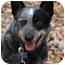 Photo 1 - Australian Cattle Dog Dog for adoption in Siler City, North Carolina - Meara