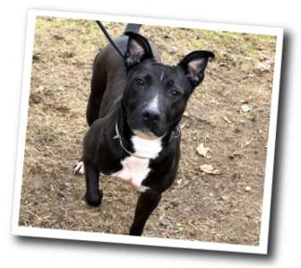 American Pit Bull Terrier/Labrador Retriever Mix Dog for adoption in Smithtown, New York - Anita
