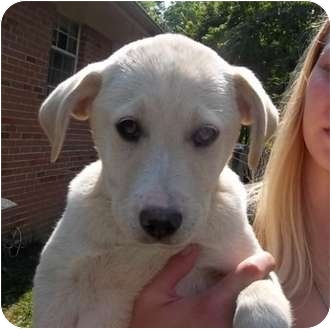 Hound (Unknown Type)/Shepherd (Unknown Type) Mix Puppy for adoption in Windham, New Hampshire - Seiko