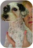 Poodle (Miniature) Mix Dog for adoption in Spring Valley, New York - Bandit