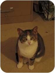 Calico Cat for adoption in Toronto, Ontario - Georgie