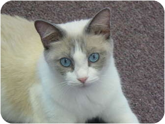 Snowshoe Cat for adoption in Clarksville, Indiana - Pickle