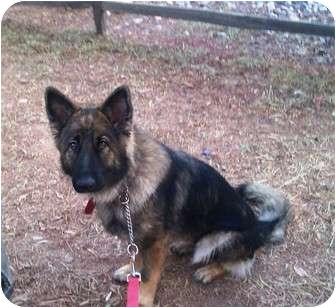 Belgian Shepherd/Belgian Tervuren Mix Dog for adoption in El Cajon, California - Belgium Sheepdog
