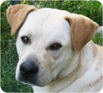 Labrador Retriever Mix Dog for adoption in Staunton, Virginia - Moe
