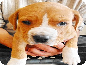 Boxer Mix Puppy for adoption in San Diego, California - Duke