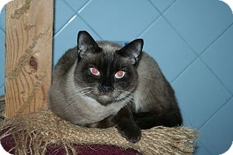 Siamese Cat for adoption in Santa Rosa, California - Chardonnay