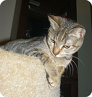 Domestic Shorthair Cat for adoption in Apex, North Carolina - Carya