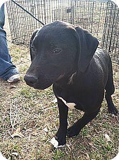 Terrier (Unknown Type, Medium)/Pit Bull Terrier Mix Dog for adoption in Blanchard, Oklahoma - Biggie