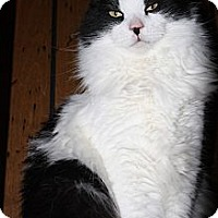 Domestic Longhair Cat for adoption in Rawlins, Wyoming - Cowboy