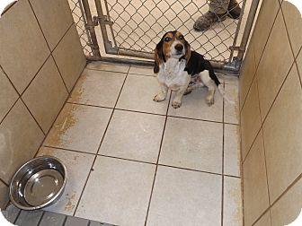 Beagle Dog for adoption in Thomaston, Georgia - Sue Ellen