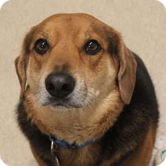 Beagle Mix Dog for adoption in Naperville, Illinois - Bailey