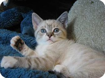 Siamese Kitten for adoption in Davis, California - Harmony and Melody