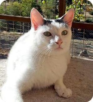 Domestic Shorthair Cat for adoption in Mountain Center, California - Leslie
