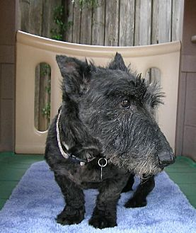 Scottie, Scottish Terrier Dog for adoption in Dallas, Texas - Yodell - Medical Hold