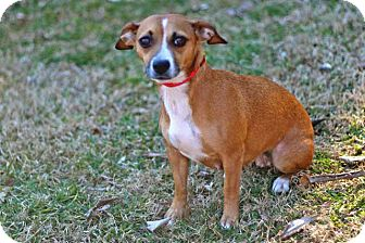Chihuahua Mix Dog for adoption in Salem, New Hampshire - GRACIE